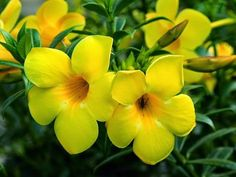 10 Flores Que Suportam o Sol Forte - Pining Tropical Flowers, Exotic Flowers, Yellow Flowers, Beautiful Flowers, Creepers Plants, Lilies Of The Field, Belle Plante, Home Garden Plants, Ornamental Plants