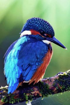 Red, White, and Blue Kingfisher Bird