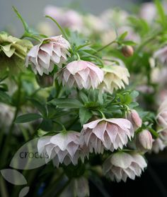 Meant to plant hellebore this fall for the early spring color. Now I can only dream and look at pictures.  Lenten rose hellebore Helleborus × hybridus 'Harvington double lilac speckled'