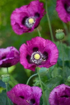 ~~Papaver somniferum 'Dark Plum' Poppy | sarahraven.com~~