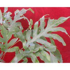 "Phlebodium aureum / Phlebodium pseudoaureum, blue star fern ""Blue Rabbit's Foot Fern"", Once known as Polypodium areolatum ??"