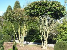 multi stemmed parrotia persica tree beautiful sculptural. Black Bedroom Furniture Sets. Home Design Ideas