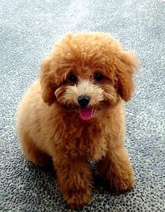 Poppy - such a smart toy poodle