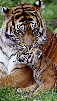 Tiger cub resting with mom