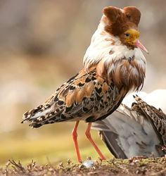 Ruff, Philomachus pugnax, a medium-sized wading bird that breeds in marshes and…