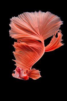 Halfmoon betta fish | Halfmoon Betta fish on black backgroun… | da nokkaew | Flickr