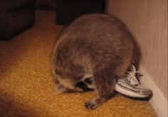 Raccoons are amazing athletes. | 17 Reasons Raccoons Should Be Your Favorite Animal