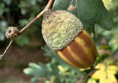 Acorns In Norse Folklore - Both The Acorns And Its Bearer, The Oak Tree, Bring Good Fortune - An Oak Tree Acorn