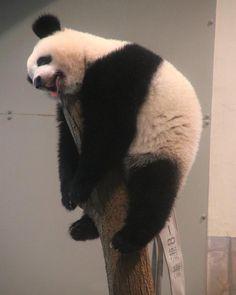 . もしシャンシャン🐼が私だったら・・・ この暑さ💦なんとかしてくだしゃぃ😂☀️ 充電🔌🔋切れてしまいました⤵︎ (2018.7.11 撮影) . #上野動物園 #uenozoo #xiangxiang #シャンシャン #香香 #panda #pandabear #パンダ #動物園 #zoo #ふわもこ部 #写真好きな人と繋がりたい Panda Kawaii, Cute Panda, Red Panda, Cute Baby Animals, Animals And Pets, Funny Animals, Bear Pictures, Animal Pictures, Sleeping Panda