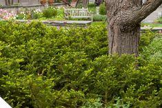 Twenty Evergreen Shrubs For Non-Stop Color | HGTV Evergreen Flowering Shrubs, Evergreen Landscape, Evergreen Garden, Trees And Shrubs, Home Landscaping, Front Yard Landscaping, Foundation Planting, Shade Flowers, Garden Shrubs