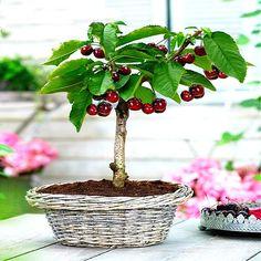 Cherry Bonsai, Bonsai Fruit Tree, Cherry Plant, Mini Bonsai, Cherry Fruit, Bonsai Plants, Bonsai Garden, Garden Plants, Cherry Apple