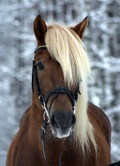 "True Blonde. The Finnish horse literally ""Finnish cold-blood""."