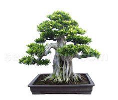 Google Image Result for http://4.bp.blogspot.com/_F8Mg9hiK9d8/TMw8CXQdChI/AAAAAAAAAac/bNWlPeEpq3U/s1600/C20081622303961077_bonsai_trees_tree_trees_Banyan_Ficus_microcarpa_bonsai.jpg