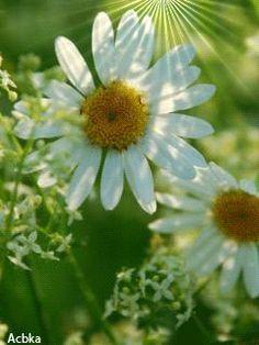 Ромашки Daisy, Gifs, Angel, Plants, I Found You, Margaritas, Beautiful Flowers, Roses, Bonito