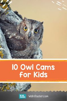 We rounded up our favorite owl cams for kids, including Barred Owls, Great Horned Owls, Long-Eared Owls, and more. Perfect for classroom use! Owl Species, Rare Species, Burrowing Owl, Barred Owl, Owls In Texas, Owl Activities, Owl Box, Long Eared Owl, Great Grey Owl