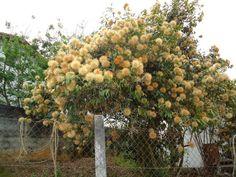 Nome científico: Stifftia chrysantha J.C. Mikan  Nomes populares: Rabo-de-cotia, Chinchá-do-cer...