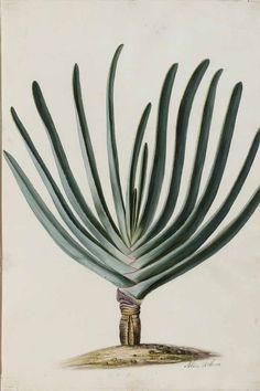 Aloe plicatilis (L.) Miller, fan aloe, French Hoek aloe Moninckx, J., Moninckx atlas, vol. 3: t. 3 (1682-1709)