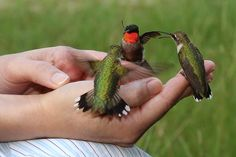 Hummingbird. I came across this amazing picture of someone hand-feeding these hummingbirds. Loved it.