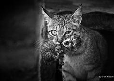 Capturer la vraie beauté de nos félins #cat #cute #photo #blackwhite