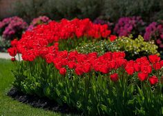 Tulips #red #landfare #housetrends