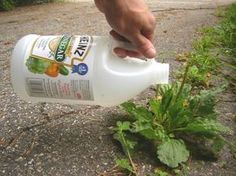 Vinegar can kill weeds. Many recipes are questionable. See the results of a vinegar weed killer trial, with smart tips for safe use. Kill Weeds With Vinegar, Vegetable Garden, Garden Plants, Garden Web, Balcony Garden, Herb Garden, Container Gardening, Gardening Tips, Orquideas Cymbidium