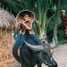 REDS.VN - 40 bức ảnh màu vô giá về miền Bắc Việt Nam trước 1975 flute artist on his buffalo ;)