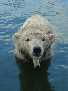 Polar Bear (ironmanixs)