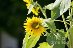 SUNFLOWER AND HONEY BEE Available in prints, framed prints, canvas prints, acrylic prints, metal prints, greeting cards.