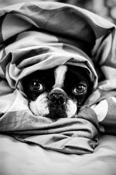 Anyone else's Boston Terrier Dogs Love to be Wrapped Up in Warm Blankets? ► http://www.bterrier.com/?p=20470 - https://www.facebook.com/bterrierdogs