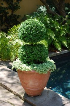A terracotta pot makes the ideal base for a show-stopping arrangement of clipped boxwoods with a sedum base.