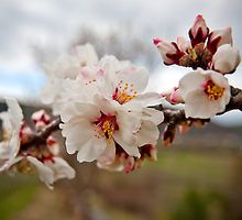 Almond Blossom Time by Boston Thek Imagery