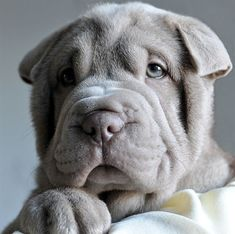 A wise, thoughtful-looking shar-pei.