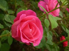 How to Grow Rose ① Put seeds into 40° C water for 24 hours. ② Put seeds into very wet sands for germination. ( Generally it take more than 40 days. )