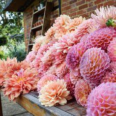 "411 Likes, 28 Comments - Swan Cottage Flowers (@swancottageflowers) on Instagram: ""A jumble of this season's favourites! Dahlias Jowey Winnie, Sherwood's Peach, Linda's Baby,…"""