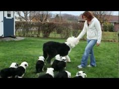 Old English Sheepdog Matilda and Her Puppies..... (dang, that Benji theme song gets me everytime!!)  =)