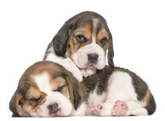 Cute pictures of Beagle puppies...