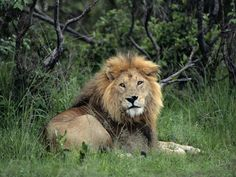 Image result for lion in a jungle