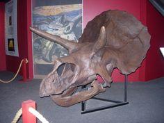 Triceratops Skull.