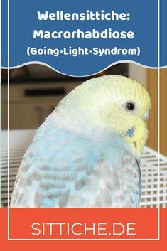 Alles über Macrorhabdiose auch Megas genannt. Symptome und Behandlung. #wellensittich #wellensittiche #wellis Stress, Parrot, Animals, Budgies, Hang In There, Parrot Bird, Animales, Animaux, Animal