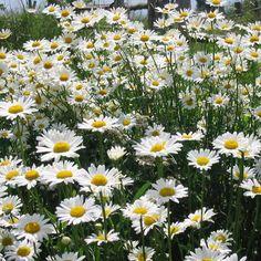 LEUCANTHEMUM vulgare (Marguerite d'été) : Les variétés sont souvent des améliorations à grandes fleurs blanches, d'apparence variées, parfois doubles. Donnent d'excellentes fleurs à couper et les simples sont idéales en prairies fleuries ou jardins naturels. La marguerite des prés. Touffe érigée, feuillage vert. Floraison blanche à la fin du printemps.
