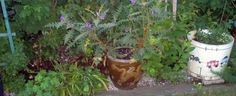 Solanum pyracanthum by Roselaine