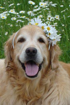 Lovely bride to be! #dogs #pets #GoldenRetrievers Facebook.com/sodoggonefunny