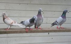 Hey, we have Racing Homer Pigeons for sale at http://www.frankstrade.com/