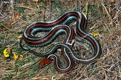 Garter snake of the Bay Area
