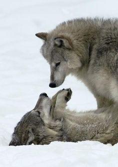 (wolves) HA HA ... Uh humph,..No it was a Joke!, I swear I didn't mean it. :)