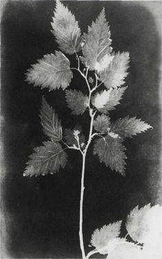 WILLIAM HENRY FOX TALBOT. Botanical Specimen, 1839. Photogenic drawing. Royal Photographic Society, Bath, England.