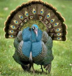 The ocellated turkey (Meleagris ocellata) is a species of turkey residing primarily in the Yucatán Peninsula.