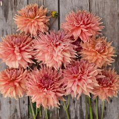 Dinnerplate Fairway Spur Dahlia- for bouquet