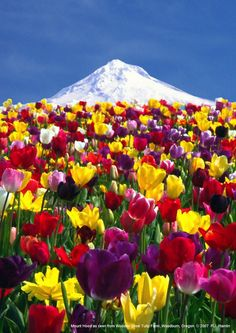 Mount Hood from Wooden Shoe Tulip Farm, Oregon