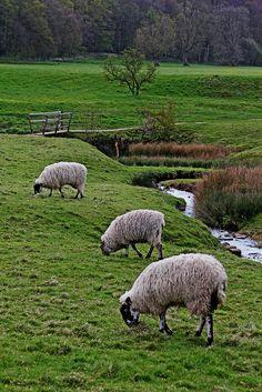 Sheep in the countryside. Sheep Farm, Sheep And Lamb, Lord Is My Shepherd, The Good Shepherd, Alpacas, Country Farm, Country Life, Country Living, Wyoming